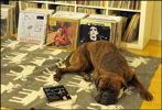 Boxer Ringo chilling